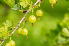 Świezi zieleni agresty na gałąź krzak Obraz Royalty Free
