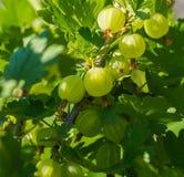 Świezi zieleni agresty na gałąź krzak, zakończenie Fotografia Royalty Free