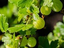 Świezi zieleni agresty na gałąź w świetle słonecznym Obraz Stock