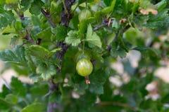 Świezi zieleni agresty na gałąź agresty w owoc uprawiają ogródek Fotografia Stock