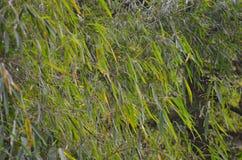 Świezi zieleni bambusów liście Dżungli tapeta Zdjęcie Royalty Free