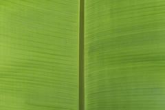 Świezi zieleni bananów liście dla tła obrazy stock