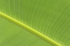 Świezi zieleni bananów liście dla tła obrazy royalty free