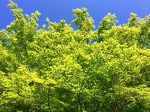 Świezi zieleni drzewo liście przeciw niebieskiemu niebu Fotografia Stock