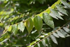 Świezi zieleni gwiazdy agresta liście Fotografia Stock