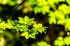 Świezi zieleni Klonowi liście w lesie w kolumbiach brytyjska, Kanada fotografia stock