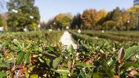 Świezi zieleni krzaków liście w parku Zielony labitynt W górę wiecznozielonego krzaka boxwood w naturze 50mm plam tła wpływu poża zdjęcia stock