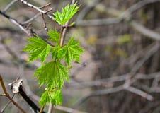 Świezi zieleni liście klon w wczesnej wiośnie zdjęcie stock