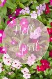 Świezi zieleni liście roślina z bielu, menchii i czerwieni kwiatami, obraz royalty free