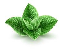Świezi zieleni nowi liście dla mojito napoju Obrazy Royalty Free