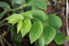 Świezi zieleni Phyllanthus acidus liście Fotografia Stock