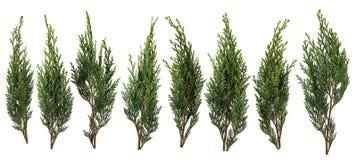 Świezi zieleni sosna liście odizolowywający na białym tle obrazy royalty free