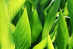 świezi zieleni ziele fotografia royalty free