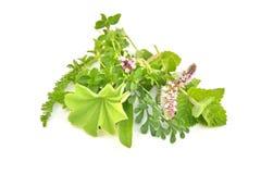 Świezi zieleni ziele odizolowywający Fotografia Royalty Free