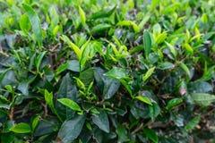 Świezi zielona herbata liście w herbacianej plantacji w ranku zdjęcia stock