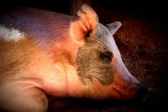 świnia śpiąca Fotografia Royalty Free