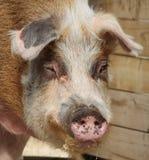 świnia Obraz Stock