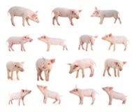 świnia Zdjęcie Stock