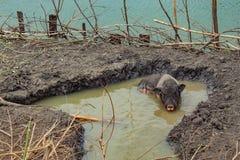 Świnia bawić się ziemię i wodę na gospodarstwie rolnym fotografia royalty free