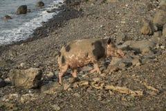 Świnia chodzić morzem Zdjęcia Stock
