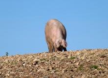 Świnia foraging dla jedzenia w kamienistym, błotnisty, pole zdjęcie stock