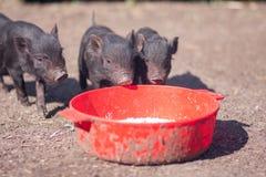 świnia Karmowi zwierzęta zdjęcie stock