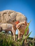 świnia mała obraz royalty free
