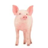 Świnia na biel Fotografia Stock