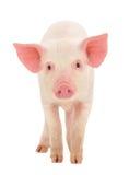 Świnia na biel Fotografia Royalty Free