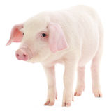 Świnia na biel Obrazy Stock