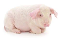 Świnia na biel Obraz Royalty Free
