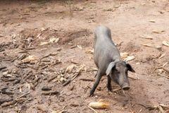 Świnia na sty obraz stock