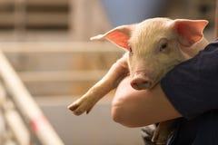 Świnia przy fabryką Zdjęcie Royalty Free