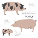 Świnia uprawia ziemię infographic szablon Wieprz, locha, świniowata rodzina ilustracja wektor