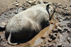 Świnia w błocie Fotografia Stock