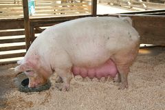 świnia w ciąży zdjęcia stock