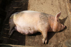 świnia w ciąży Zdjęcie Royalty Free