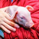 Świnia w rękach Obrazy Royalty Free