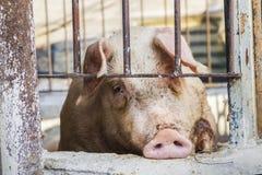Świnia zamykająca w chlewie Zdjęcia Royalty Free