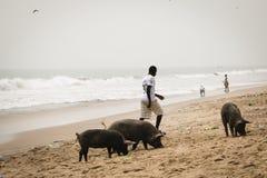 Świnie i rybacy w przylądka wybrzeżu, Ghana zdjęcia stock