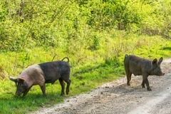 Świnie krzyżuje drogę Fotografia Stock