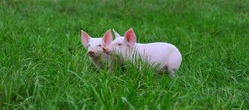 świnie małe Zdjęcia Stock
