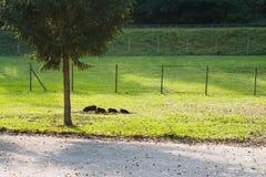 Świnie na bezpłatnym pasma gospodarstwie rolnym Zdjęcia Royalty Free