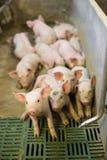 Świnie przy fabryką fotografia royalty free