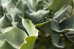 Świnie ucho, liścienia orbiculata, są tłustoszowatym rośliną miejscowym Południowa Afryka Obraz Stock