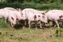 Świnie uprawia ziemię dźwiganie hoduje w zwierzęcego gospodarstwa rolnego wiejskiej scenie Obrazy Stock