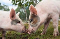 Świnie w miłości Zdjęcie Stock