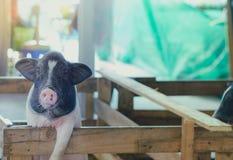 Świniowatego Sty czekanie dla jedzenia Z biedną posturą zdjęcie stock