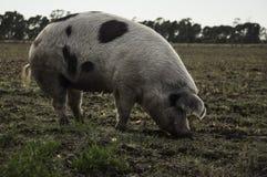 Świniowaty łasowanie Zdjęcia Royalty Free