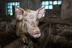 Świniowaty dyszy zakończenie up Fotografia Royalty Free